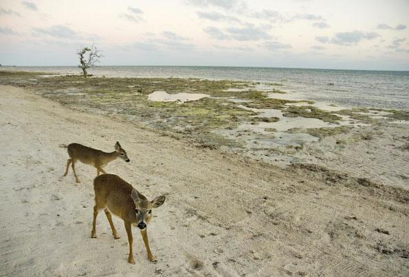 Tiny Key Deer at Deer Run B&B