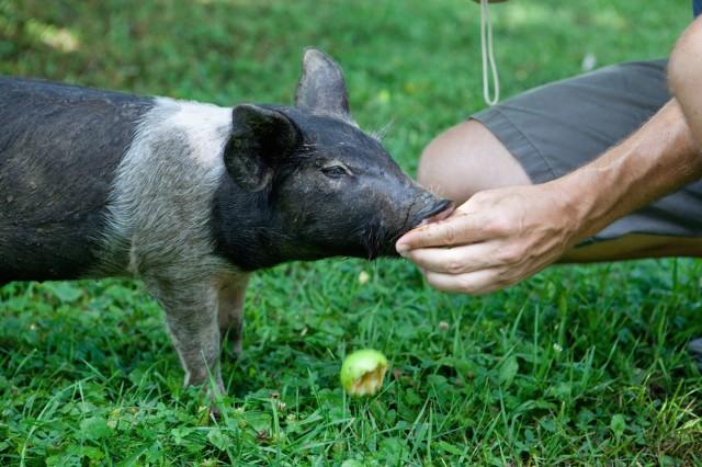 Sweet piglet at Farm Sanctuary, Watkins Glen